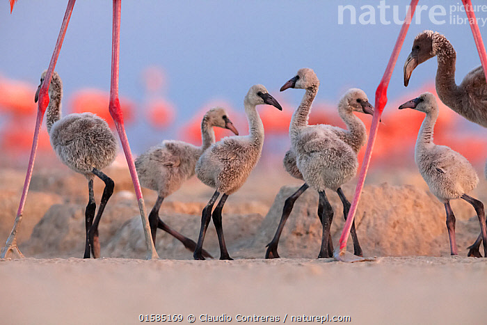 Caribbean Flamingo (Phoenicopterus ruber) chick group walking around the breeding colony, Ria Lagartos Biosphere Reserve, Yucatan Peninsula, Mexico, June, Finalist in the Portfolio Category of the Terre Sauvage Nature Images Awards 2017., catalogue10,,Animal,Wildlife,Vertebrate,Bird,Birds,Flamingo,American flamingo,Animalia,Animal,Wildlife,Vertebrate,Aves,Bird,Birds,Phoenicopteriformes,Flamingo,Phoenicopteridae,Phoenicopterus,Phoenicopterus ruber,American flamingo,Caribbean flamingo,West Indian flamingo,Cuban flamingo,Phoenicopterus ruber ruber,Group Of Animals,Animal Colony,Flock,Group,Latin America,Central America,Mexico,Young Animal,Baby,Chick,Animal Legs,Legs,Leg,Animal Home,Nest,Competition winner,Yucatan Peninsula,Yucatan,Photography award,, Claudio  Contreras