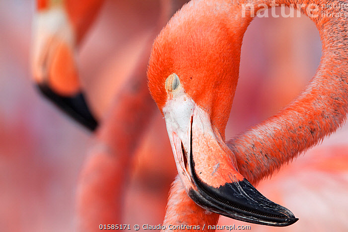 Caribbean Flamingo (Phoenicopterus ruber) sleeping in the breeding colony, brooding egg, Ria Lagartos Biosphere Reserve, Yucatan Peninsula, Mexico, June, Finalist in the Portfolio Category of the Terre Sauvage Nature Images Awards 2017., catalogue10,,Animal,Wildlife,Vertebrate,Bird,Birds,Flamingo,American flamingo,Animalia,Animal,Wildlife,Vertebrate,Aves,Bird,Birds,Phoenicopteriformes,Flamingo,Phoenicopteridae,Phoenicopterus,Phoenicopterus ruber,American flamingo,Caribbean flamingo,West Indian flamingo,Cuban flamingo,Phoenicopterus ruber ruber,Resting,Rest,Sleeping,Colour,Pink,Two,Latin America,Central America,Mexico,Close Up,Beak,Competition winner,Yucatan Peninsula,Yucatan,Photography award,, Claudio  Contreras