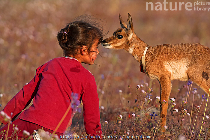 Young girl face to face with Peninsular Pronghorn Antelope (Antilocapra americana peninsularis) fawn at Peninsular Pronghorn recovery project, El Vizcaino Desert Biosphere Reserve, Baja California Peninsula, Mexico, March, First prize in the 'Passion for Conservation' National Contest organised by Mexico's National Comission of Natural Protected Areas (CONANP) Model released  ,  catalogue10,,Animal,Wildlife,Vertebrate,Mammal,Pronghorn,Mexican Pronghorn,Animalia,Animal,Wildlife,Vertebrate,Mammalia,Mammal,Artiodactyla,Even-toed ungulates,Antilocapridae,Pronghorn,ruminantia,Ruminant,Antilocapra,Antilocapra americana,Mexican Pronghorn,Prong buck,Pronghorn antelope,People,Child,Care,Caring,Curiosity,Young Animal,Baby,Baby Mammal,Fawn,Competition winner,Photography award,  ,  Claudio  Contreras