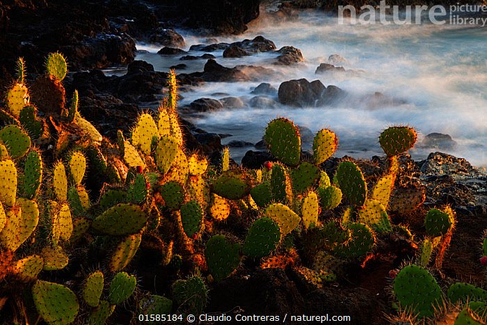 """Prickly pear (Opuntia sp.) growing on coastline, Socorro Island, Revillagigedo Archipelago National Park (Socorro Islands), Pacific Ocean, Western Mexico, November, Honorary Mention in the third national contest """"Visions of our nature"""" organised by Mexico's National Biodiversity Commission., catalogue10,,,Latin America,Central America,Mexico,Plant,Succulent,Succulents,Cactus,Cacti,Rock,Ocean,Pacific Ocean,Wave,Coast,Marine,Coastal,Water,Saltwater,Competition winner,Protected area,UNESCO World Heritage Site,Socorro Islands,Photography award,, Claudio  Contreras"""