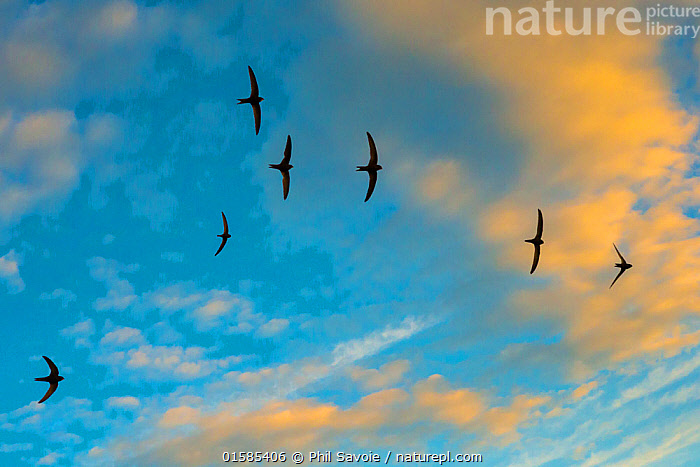 Swift (Apus apus) flock screaming  in flight against blue sky and clouds, Monmouthshire, Wales, UK, July.  ,  catalogue10,,Animal,Wildlife,Vertebrate,Bird,Birds,Swift,Common swift,Animalia,Animal,Wildlife,Vertebrate,Aves,Bird,Birds,Apodiformes,Apodidae,Swift,Apus,Apus apus,Common swift,Eurasian swift,European swift,Northern swift,Flying,Group Of Animals,Flock,Group,Europe,Western Europe,UK,Great Britain,Wales,Sky,Cloud,Summer,Monmouthshire,Formation,  ,  Phil Savoie