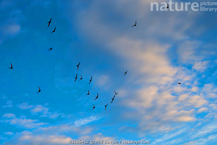 Swift (Apus apus) flock screaming  in flight against blue sky and clouds, Monmouthshire, Wales, UK, July., Animal,Wildlife,Vertebrate,Bird,Birds,Swift,Common swift,Animalia,Animal,Wildlife,Vertebrate,Aves,Bird,Birds,Apodiformes,Apodidae,Swift,Apus,Apus apus,Common swift,Eurasian swift,European swift,Northern swift,Vocalisation,Flying,Group Of Animals,Flock,Group,Europe,Western Europe,UK,Great Britain,Wales,Sky,Cloud,Animal Behaviour,Monmouthshire,, Phil Savoie