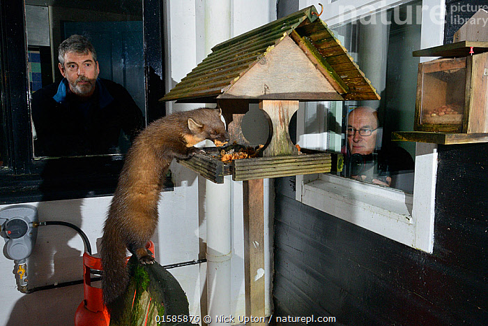 Young male Pine Marten (Martes martes) feeding on fruit cake on a bird table at a guest house at night, watched by two guests, Knapdale, Argyll, Scotland, October. Photographed using a remote camera. Model and property released.  ,  Animal,Wildlife,Vertebrate,Mammal,Carnivore,Mustelid,Marten,European Pine Martin,Animalia,Animal,Wildlife,Vertebrate,Mammalia,Mammal,Carnivora,Carnivore,Mustelidae,Mustelid,Martes,Marten,Martes martes,European Pine Martin,Pine Marten,People,Man,Europe,Western Europe,UK,Great Britain,Scotland,Male Animal,Bird Feeder,Bird Feeders,Building,Residential Structure,House,Houses,Feeding,Feeders,Wildlife watching,Argyll,Bird table,  ,  Nick Upton