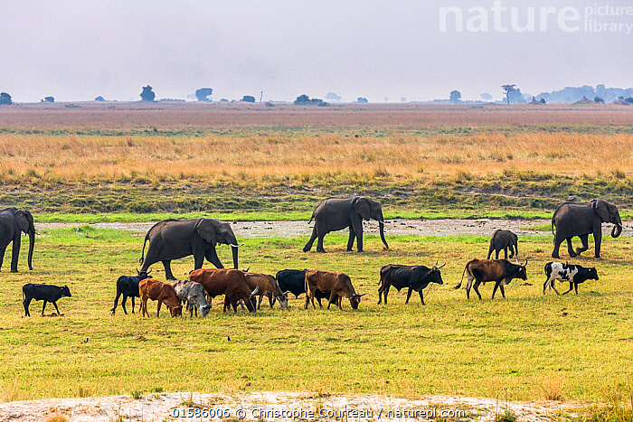 Herd of African Elephants (Loxodonta africana) grazing with cattle,  Chobe National Park in Botswana.  ,  Animal,Wildlife,Vertebrate,Mammal,Elephant,African elephants,African elephant,Animalia,Animal,Wildlife,Vertebrate,Mammalia,Mammal,Proboscidea,Elephantidae,Elephant,Loxodonta,African elephants,Loxodonta africana,African elephant,Group Of Animals,Herd,Group,Africa,Southern Africa,Botswana,Agriculture,Livestock,Feeding,Grazing,Reserve,Domestic animal,Cattle,Domesticated,Protected area,National Park,Human-wildlife conflict,Endangered species,threatened,Endangered,, catalogue11  ,  Christophe Courteau
