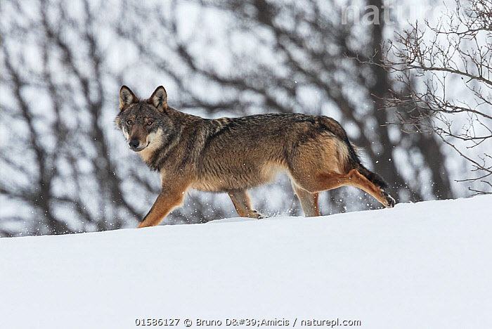 Wild Apennine wolf (Canis lupus italicus) in snowy landscape. Central Apennines, Abruzzo, Italy. February. Italian endemic subspecies.  ,  catalogue10,,Animal,Wildlife,Vertebrate,Mammal,Carnivore,Canid,Grey Wolf,Italian wolf,Animalia,Animal,Wildlife,Vertebrate,Mammalia,Mammal,Carnivora,Carnivore,Canidae,Canid,Canis,Canis lupus,Grey Wolf,Common Wolf,Wolf,Walking,Alertness,Europe,Southern Europe,Italy,Abruzzo,Portrait,Snow,Winter,Nature,Moving,Appenines,Apennine Mountains,Apennines,Movement,Canis lupus italicus,Italian wolf,Apennine wolf,Vulnerable species,Endangered,Threatened  ,  Bruno D'Amicis