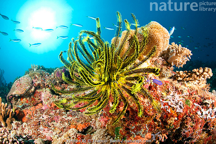 Crinoid or feather star on the reef, Tubbataha Reef Natural Park, UNESCO World Heritage Site,  Sulu Sea, Cagayancillo, Palawan, Philippines  ,  Animal,Wildlife,Echinoderm,Crinoid,Animalia,Animal,Wildlife,Echinodermata,Echinoderm,Crinoidea,Crinoid,Asia,South East Asia,Republic of the Philippines,Tropical,Ocean,Marine,Underwater,Water,Reserve,Indo Pacific,Saltwater,Biodiversity hotspots,Biodiversity hotspot,Philippines,Protected area,UNESCO World Heritage Site,Palawan,Marine,Invertebrate,Invertebrates  ,  Franco  Banfi