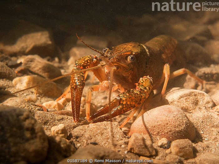 Louisiana crayfish (Procambarus clarkii) in a river.