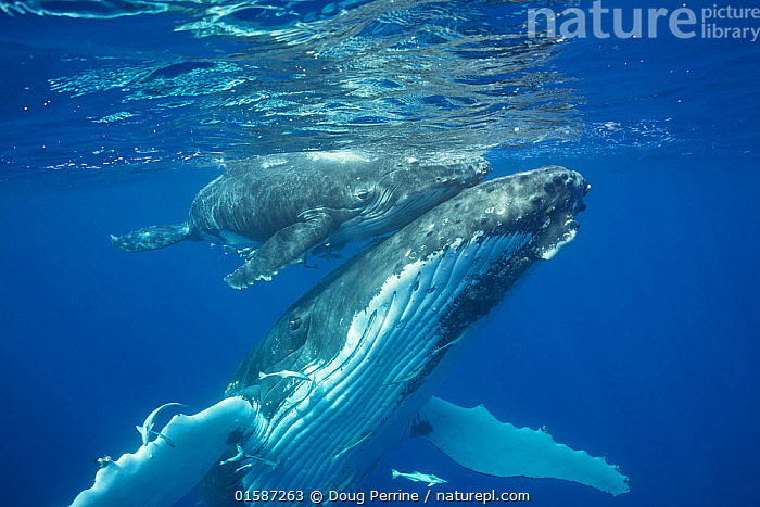 Humpback whale (Megaptera novaeangliae) mother supporting her calf at the water surface, Vava'u, Kingdom of Tonga, South Pacific. September. Both mother and baby have remora fish attached to their undersides., Animal,Wildlife,Vertebrate,Ray-finned fish,Percomorphi,Remora,Mammal,Ceteacean,Humpback Whale,Baleen whale,Animalia,Animal,Wildlife,Vertebrate,Actinopterygii,Ray-finned fish,Osteichthyes,Bony fish,Fish,Perciformes,Percomorphi,Acanthopteri,Echeneididae,Remora,Suckerfish,Sucker fish,Mammalia,Mammal,Cetacea,Ceteacean,Balaenopteridae,Megaptera,Megaptera novaeangliae,Humpback Whale,Hump Whale,Hunchbacked Whale,Megaptera nodosa,Megaptera lalandii,Megaptera longimana,Care,Caring,Love,Affectionate,Affection,Oceania,Tonga,Kingdom of Tonga,Ocean,Pacific Ocean,Marine,Underwater,Water,Animal Behaviour,Parental behaviour,Family,Mother baby,Mixed species,Saltwater,Mother,Parental,Parent baby,Sharksucker,shark sucker,Baleen whale,,, catalogue11, Doug Perrine