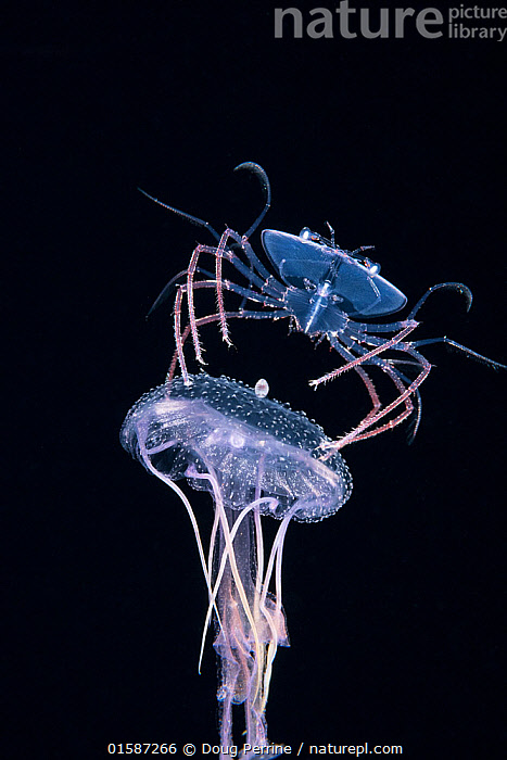 Phyllosoma larva of Spiny lobster (Palinurus sp.) riding a Purple jellyfish (Pelagia noctiluca), at night in surface waters of the deep ocean off Kailua Kona, Hawaii, USA. August. The larval crustacean uses its cnidarian host both as a food source, and as a defensive weapon, spinning it around to deter predators with the stinging tentacles of the jellyfish., Animal,Wildlife,Cnidarian,True jellyfish,Flagmouth jellyfish,Purple stinger,Crustacean,Decapod,Spiny lobster,Animalia,Animal,Wildlife,Cnidaria,Cnidarian,Coelentrerata,Scyphozoa,True jellyfish,Semaeostomeae,Flagmouth jellyfish,Pelagiidae,Pelagia,Pelagia noctiluca,Purple stinger,Pelagia perla,Crustracea,Crustacean,Malacostraca,Decapoda,Decapod,Palinuridae,Spiny lobster,Langouste,Rock lobster,Palinurus,Bizarre,Weird,Mood,Eerie,Hawaii,Hawaii Islands,Cutout,Plain Background,Black Background,Ocean,Pacific Ocean,Night,Parasite,Marine,Underwater,Water,Animal Behaviour,Defensive,Feeding,Predation,Arthropod,Arthropods,Mixed species,Saltwater,Invertebrate,Interesting,Kona,Invertebrate,Invertebrates,Marine,, catalogue11, Doug Perrine