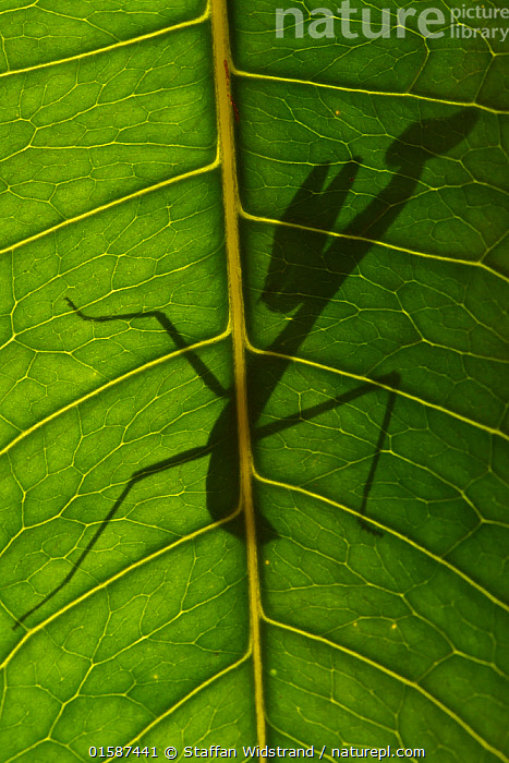 Praying mantis nymph silhouetted through leaf,. Raja Ampat, Western Papua, Indonesian New Guinea, Animal,Wildlife,Arthropod,Insect,Neoptera,Animalia,Animal,Wildlife,Hexapoda,Arthropod,Invertebrate,Hexapod,Arthropoda,Insecta,Insect,Dictyoptera,Neoptera,Pterygota,Hiding,Oceania,Melanesia,New Guinea,Back Lit,Young Animal,Nymph,Nymphs,Plant,Leaf,Foliage,Silhouette,Indonesia,, Staffan Widstrand