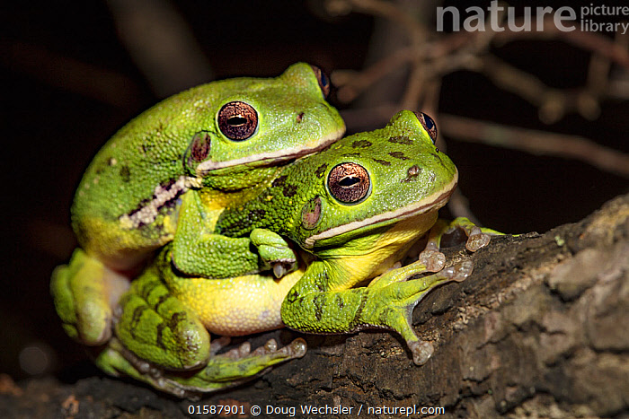 Barking treefrog (Hyla gratiosa) pair in amplexus, Blackbird State Forest, Delaware, USA, May.  ,  Animal,Wildlife,Vertebrate,Frog,Tree frog,Barking tree frog,American,Animalia,Animal,Wildlife,Vertebrate,Amphibia,Anura,Frog,Hylidae,Tree frog,Hyla,Hyla gratiosa,Barking tree frog,Two,North America,USA,Southern USA,Delaware,Animal Behaviour,Mating Behaviour,Copulation,Male female pair,Amphibian,Amplexus,American,United States of America,  ,  Doug Wechsler