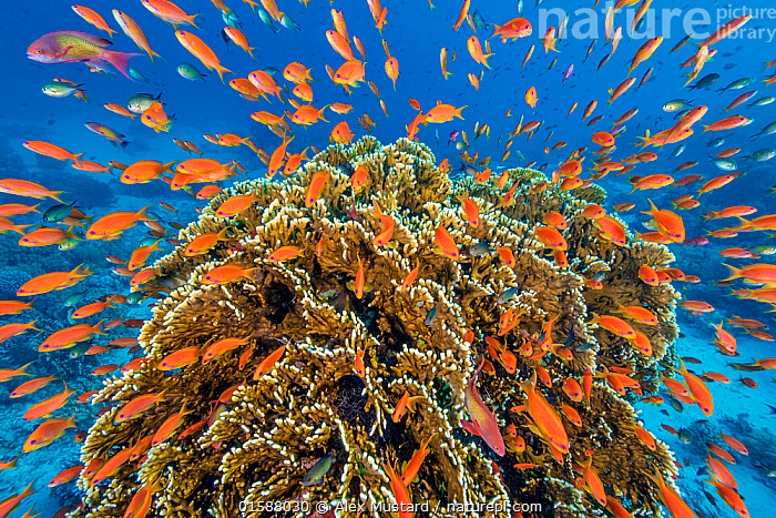 RF - A vibrant Red Sea coral reef scene, with orange female Scalefin anthias fish (Pseudanthias squamipinnis)  teeming over Fire coral (Millepora dichotoma) feeding on plankton brought to the reef by currents. Ras Mohammed Marine Park, Sinai, Egypt. (This image may be licensed either as rights managed or royalty free.)  ,  Animal,Wildlife,Cnidarian,Hydrozoan,Athecate hydroid,Fire coral,Vertebrate,Ray-finned fish,Percomorphi,Anthias,Lyretail anthias,Animalia,Animal,Wildlife,Cnidaria,Cnidarian,Coelentrerata,Hydrozoa,Hydrozoan,Hydroid,Anthoathecata,Athecate hydroid,Anthomeduseae,Milleporidae,Fire coral,Vertebrate,Actinopterygii,Ray-finned fish,Osteichthyes,Bony fish,Fish,Perciformes,Percomorphi,Acanthopteri,Serranidae,Pseudanthias,Anthias,Pseudanthias squamipinnis,Lyretail anthias,Scalefin anthias,Anthias cheirospilos,Anthias gibbosus,Anthias squamipinnis,Colour,Orange,Group Of Animals,School,Group,Large Group,Nobody,Vibrant Colour,Africa,North Africa,Northern Africa,Egypt,Tropical,Reef,Reefs,Coral Reef,Coral Reefs,Red Sea,Nature,Marine Life,Sea Life,Marine,Underwater,Water,Saltwater,Sea,Multitude,Biodiversity,Anthomedusa,Gymnoblastea,Gymnoblasteae,Sinai,RF,Royalty free,RF3,Invertebrate,Invertebrates,Marine,,RF3,,RF,  ,  Alex Mustard