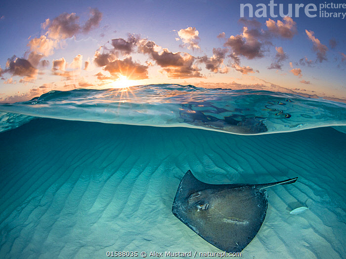 RF - Southern stingray (Dasyatis americana) swimming over sand in shallow water at dawn,  Cayman Islands, Caribbean Sea. (This image may be licensed either as rights managed or royalty free.), Animal,Wildlife,Vertebrate,Cartilaginous fish,Rays,Whiptail stingray,Southern stingray,Animalia,Animal,Wildlife,Vertebrate,Chondrichthyes,Cartilaginous fish,Jawed fish,Myliobatiformes,Rays,Dasyatidae,Whiptail stingray,Dasyatis,Dasyatis americana,Southern stingray,Nobody,Female animal,Tropical,Seabed,Sunlight,Light Ray,Sky,Cloud,Ocean,Caribbean Sea,Sunset,Setting Sun,Sunsets,Marine,Underwater,Split level,Water,Habitat,Saltwater,Dawn,Dusk,Natural Light,RF,Royalty free,RF3,Marine,,RF3,,RF,, Alex Mustard