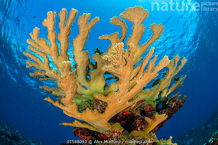 View of a colony of Elkhorn coral (Acropora palmata) growing on a coral reef. The growth in this photo represents 12 year's growth since Hurrican Ivan in 2004, which levelled the colony.  East End, Grand Cayman, Cayman Islands. British West Indies. Caribbean Sea.  ,  Animal,Wildlife,Cnidarian,Anthrozoan,Hard coral,Coral,Acropora coral,Elkhorn coral,Animalia,Animal,Wildlife,Cnidaria,Cnidarian,Coelentrerata,Anthozoa,Anthrozoan,Scleractinia,Hard coral,Acroporidae,Coral,Acropora,Acropora coral,Acropora palmata,Elkhorn coral,The Caribbean,Cayman Islands,Tropical,Underwater,Water,Biodiversity hotspots,Invertebrate,Invertebrates,Marine,Endangered species,threatened,Critically endangered  ,  Alex Mustard