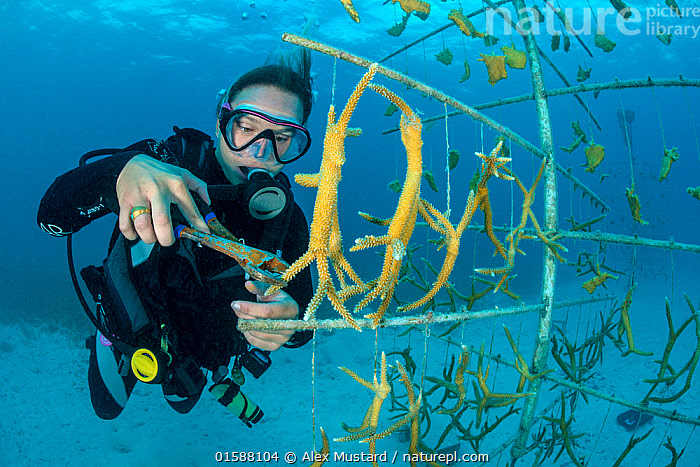 Diver fragmenting a growing piece of Staghorn coral (Acropora cervicornis) hung on coral propagation tree, as part of a coral conservation nursery project. East End, Grand Cayman. Cayman Islands, British West Indies. Caribbean Sea.  ,  Animal,Wildlife,Cnidarian,Anthrozoan,Hard coral,Coral,Acropora coral,Staghorn coral,Animalia,Animal,Wildlife,Cnidaria,Cnidarian,Coelentrerata,Anthozoa,Anthrozoan,Scleractinia,Hard coral,Acroporidae,Coral,Acropora,Acropora coral,Acropora cervicornis,Staghorn coral,The Caribbean,Cayman Islands,Tropical,Underwater,Water,Conservation,Biodiversity hotspots,Invertebrate,Invertebrates,Marine,Endangered species,threatened,Critically endangered  ,  Alex Mustard