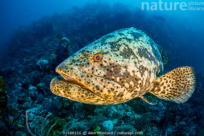 Goliath grouper (Epinephelus itajara) on a coral reef. Jardines de la Reina, Gardens of the Queen National Park, Cuba. Caribbean Sea., Animal,Wildlife,Vertebrate,Ray-finned fish,Percomorphi,Grouper,Goliath grouper,Animalia,Animal,Wildlife,Vertebrate,Actinopterygii,Ray-finned fish,Osteichthyes,Bony fish,Fish,Perciformes,Percomorphi,Acanthopteri,Serranidae,Epinephelus,Grouper,Epinephelus itajara,Goliath grouper,Serranus assabensis,Serranus reevesii,The Caribbean,Portrait,Tropical,Ocean,Caribbean Sea,Marine,Underwater,Water,Saltwater,Biodiversity hotspots,Marine, Alex Mustard