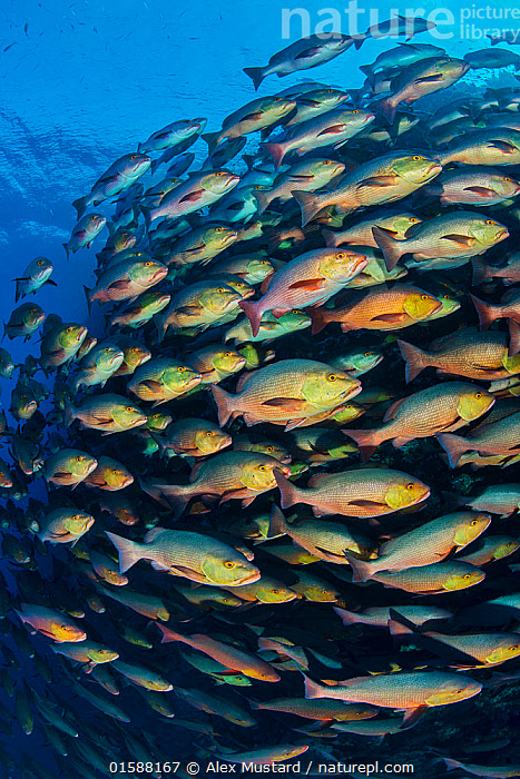 School of Bohar snapper (Lutjanus bohar) swimming in formation along a coral reef. These fish are usually solitary and aggregate each summer in the Red Sea to spawn.  Ras Mohammed National Park, Sinai, Egypt. Red Sea.  ,  Animal,Wildlife,Vertebrate,Ray-finned fish,Percomorphi,Snapper,Bohar snapper,Animalia,Animal,Wildlife,Vertebrate,Actinopterygii,Ray-finned fish,Osteichthyes,Bony fish,Fish,Perciformes,Percomorphi,Acanthopteri,Lutjanidae,Snapper,Lutjanus,Lutjanus bohar,Bohar snapper,Red bass,Red snapper,Twinspot red snapper,Kelp bream,Mylah,Kelp sea perch,Sciaena bohar,Lutjanus rangus,Sparus lepisurus,Group Of Animals,School,Group,Africa,North Africa,Northern Africa,Egypt,Tropical,Reef,Reefs,Coral Reef,Coral Reefs,Red Sea,Marine,Underwater,Water,Saltwater,Sea,Sinai,Marine  ,  Alex Mustard