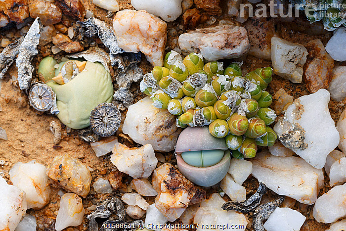 Endemic succulents Oophytum nanum and Argyroderma delaetii growing among quartz pebbles in the Knersvlakte, Western Cape, South Africa, where they are endemic  ,  Plant,Vascular plant,Flowering plant,Dicot,Ice plant,Living stone,Plantae,Plant,Tracheophyta,Vascular plant,Magnoliopsida,Flowering plant,Angiosperm,Seed plant,Spermatophyte,Spermatophytina,Angiospermae,Caryophyllales,Dicot,Dicotyledon,Caryophyllanae,Centrospermae,Aizoaceae,Ice plant,Fig marigold,Iceplant,Figmarigold,Ficoidaceae,Jordaaniella,Argyroderma,Living stone,Living stone plant,Camouflage,Africa,Southern Africa,South Africa,Animal,Succulent,Succulents,Mineral,Minerals,Quartz,Cape floristic region,Biodiversity hotspots,Biodiversity hotspot,Endemic,South African,Oophytum,Oophytum nanum,Argyroderma delaetii,Succulent,Succulents  ,  Chris Mattison