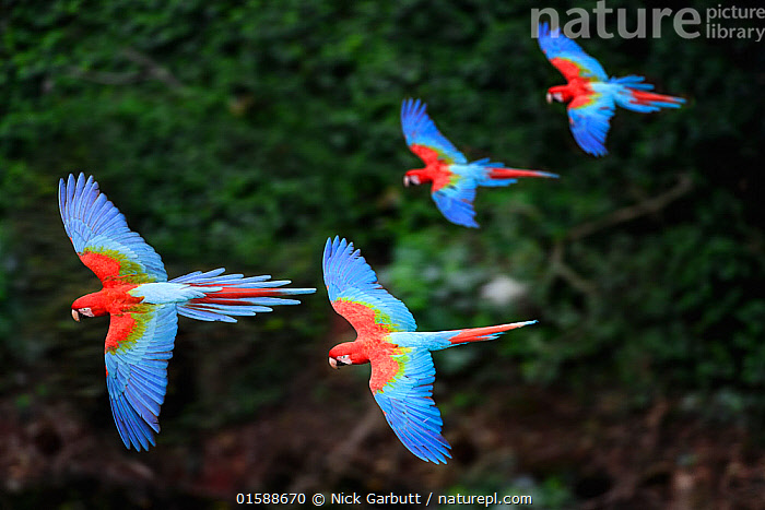 RF - Four colourful Red-and-green macaws or Green-winged macaws (Ara chloropterus) in flight over forest canopy. Mato Grosso do Sul, Brazil. September. (This image may be licensed either as rights managed or royalty free.)  ,  Animal,Wildlife,Vertebrate,Bird,Birds,Parrot,True parrot,Macaw,Green winged macaw,Pantanal wetlands,Animalia,Animal,Wildlife,Vertebrate,Aves,Bird,Birds,Psittaciformes,Parrot,Psittacines,Psittacidae,True parrot,Psittacoidea,Ara,Macaw,Neotropical parrots,Arini,Arinae,Ara chloroptera,Green winged macaw,Red and green macaw,Ara chloropterus,Flying,Motion,Colour,Blue,Colourful,Few,Four,Group,Nobody,Latin America,South America,Brazil,Pantanal,Pantanal wetlands,Moving,Mato Grosso do Sul,RF,Royalty free,Buraco das Araras,Movement,RF3,,,RF3,,RF,  ,  Nick Garbutt