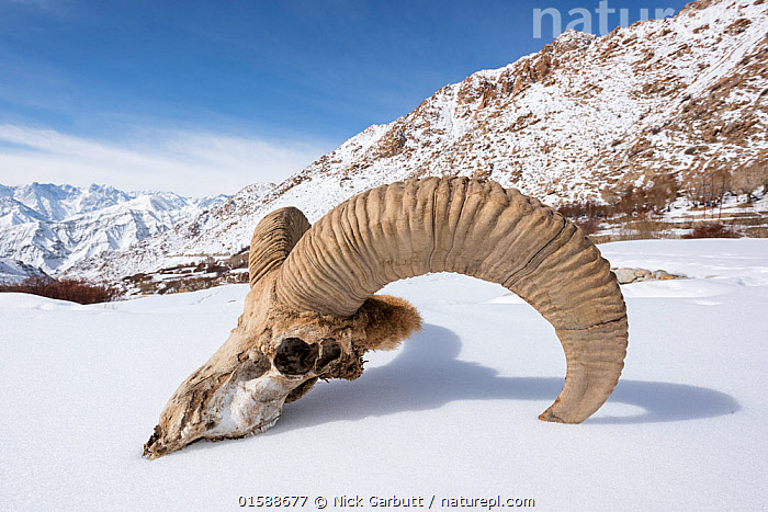 Skull of male Urial sheep (Ovis vignei) on snow covered slope. Himalayas near Ulley, Ladakh, India., Animal,Wildlife,Vertebrate,Mammal,Bovid,Sheep,Animalia,Animal,Wildlife,Vertebrate,Mammalia,Mammal,Artiodactyla,Even-toed ungulates,Bovidae,Bovid,ruminantia,Ruminant,Ovis,Sheep,Ovis orientalis,Mouflon,Red Sheep,Urial,Asia,Indian Subcontinent,India,Animal Skulls,Skull,Skulls,Snow,Winter,Himalaya,Biodiversity hotspot,Horn,Ladakh,Ovis orientalis vignei,Ovis vignei,Endangered species,threatened,Vulnerable,, catalogue11, Nick Garbutt