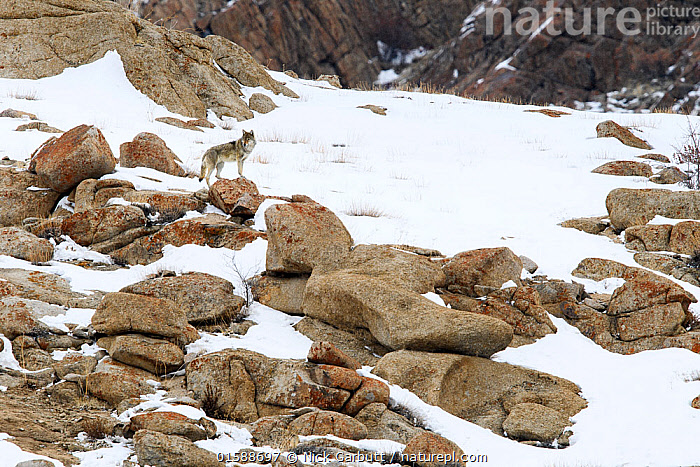 Wolf (Canis lupus) male on rocky snow covered slopes. Ulley Valley in the Himalayas, Ladakh, India., Animal,Wildlife,Vertebrate,Mammal,Carnivore,Canid,Grey Wolf,Animalia,Animal,Wildlife,Vertebrate,Mammalia,Mammal,Carnivora,Carnivore,Canidae,Canid,Canis,Canis lupus,Grey Wolf,Common Wolf,Wolf,Asia,Indian Subcontinent,India,Male Animal,Snow,Animal Track,Tracks,Ladakh,,, catalogue11, Nick Garbutt