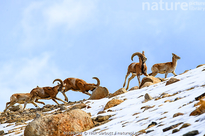 Urial sheep (Ovis vignei) herd running across steep barren slopes. Himalayas near Ulley, Ladakh, India., Animal,Wildlife,Vertebrate,Mammal,Bovid,Sheep,Animalia,Animal,Wildlife,Vertebrate,Mammalia,Mammal,Artiodactyla,Even-toed ungulates,Bovidae,Bovid,ruminantia,Ruminant,Ovis,Sheep,Ovis orientalis,Mouflon,Red Sheep,Urial,Group Of Animals,Herd,Group,Asia,Indian Subcontinent,India,Snow,Himalaya,Biodiversity hotspot,Ovis aries,Ladakh,Ovis orientalis vignei,Ovis vignei,Endangered species,threatened,Vulnerable,, catalogue11, Nick Garbutt