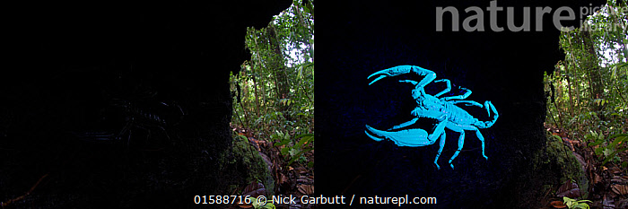 Comparison of two pictures of Borneo giant forest scorpion (Heterometrus longimanus) resting inside a fallen hollow log. Danum Valley, Sabah, Borneo. Photographed with natural light and then illuminated with UV light. Composite image.  ,  Animal,Wildlife,Arthropod,Arachnid,Scorpion,Burrowing scorpion,Giant Forest Scorpion,Asian giant forest scorpion,Animalia,Animal,Wildlife,Chelicerata,Arthropod,Chelicerate,Arthropoda,Arachnida,Arachnid,Scorpiones,Scorpion,Scorpionidae,Burrowing scorpion,Heterometrus,Giant Forest Scorpion,Heterometrus longimanus,Asian giant forest scorpion,Colour,Blue,Dark,Luminosity,Asia,South East Asia,Tropical,Ultraviolet Light,U.V. Light,UV Light,Ultra Violet Light,Rainforest,Forest,Borneo island,Borneo,Invertebrate,Danum Valley,Sabah,  ,  Nick Garbutt