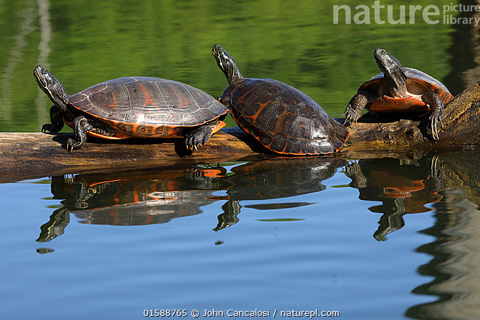 Northern red-bellied turtles (Pseudemys rubriventris) basking, Maryland, USA. May.  ,  Animal,Wildlife,Vertebrate,Reptile,Testitudine,Pond Turtles,Cooters,Red bellied turtle,American,Animalia,Animal,Wildlife,Vertebrate,Reptilia,Reptile,Chelonii,Testitudine,Emydidae,Pond Turtles,Marsh turtles,Turtle,Pseudemys,Cooters,Pseudemys rubriventris,Red bellied turtle,Testudo rubriventris,Emys irrigata,Chrysemys rubriventris bangsi,Group,North America,USA,Southern USA,Maryland,Animal Behaviour,Thermoregulation,Basking,American,United States of America,Sunning,  ,  John Cancalosi