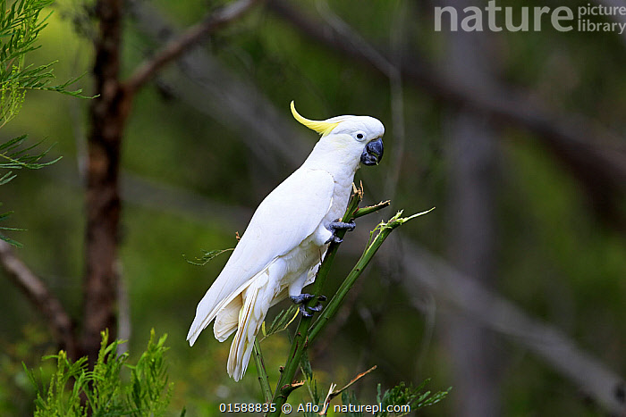 Sulfur-crested cockatoo, (Cacatua galerita), adult on branch peeling branch apart, Murramarang National Park, South Australia, Australia  ,  Animal,Wildlife,Vertebrate,Bird,Birds,Parrot,Cockatoo,Cacatuinae,Sulphur crested cockatoo,Animalia,Animal,Wildlife,Vertebrate,Aves,Bird,Birds,Psittaciformes,Parrot,Psittacines,Cacatuidae,Cockatoo,Cacatuoidea,Cacatua,Cacatuinae,Cacatuini,Cacatua galerita,Sulphur crested cockatoo,Greater sulphur crested cockatoo,Australasia,Australia,South Australia,Horizontal,Plant,Adult,  ,  Aflo