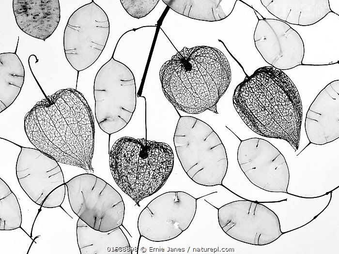 Chinese lanterns (Physalis alkekengi) skeletons and Honesty seed pods (Lunaria annua), Plant,Vascular plant,Flowering plant,Rosid,Crucifer,Annual honesty,Asterid,Chinese lantern plant,Bladder cherry,Plantae,Plant,Tracheophyta,Vascular plant,Magnoliopsida,Flowering plant,Angiosperm,Seed plant,Spermatophyte,Spermatophytina,Angiospermae,Brassicales,Rosid,Dicot,Dicotyledon,Rosanae,Brassicaceae,Crucifer,Cabbage family,Mustard,Mustard flower,Cruciferae,Lunaria,Lunaria annua,Annual honesty,Crucifera lunaria,Solanales,Asterid,Asteranae,Solanaceae,Solanacees,Physalis,Chinese lantern plant,Physalis alkekengi,Bladder cherry,Chinese lantern,Japanese lantern,Winter cherry,Strawberry groundcherry,Plain Background,White Background,B/W,Monochromatic,Back Lit,Pod,Pods,Seed Case,Seed Cases,Seedpod,Seedpods,Arty shots,Silhouette,,, catalogue11, Ernie  Janes