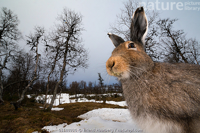 Mountain hare (Lepus timidus) portrait, moulting from winter to summer coat, Vauldalen, Norway. May., Animal,Wildlife,Vertebrate,Mammal,Lagomorph,Leporid,Hare,Mountain Hare,Animalia,Animal,Wildlife,Vertebrate,Mammalia,Mammal,Lagomorpha,Lagomorph,Leporidae,Leporid,Lepus,Hare,Lepus timidus,Mountain Hare,Europe,Northern Europe,North Europe,Nordic Countries,Scandinavia,Norway,Close Up,Low Angle View,Portrait,Snow,Landscape,Habitat,,, catalogue11, Erlend Haarberg