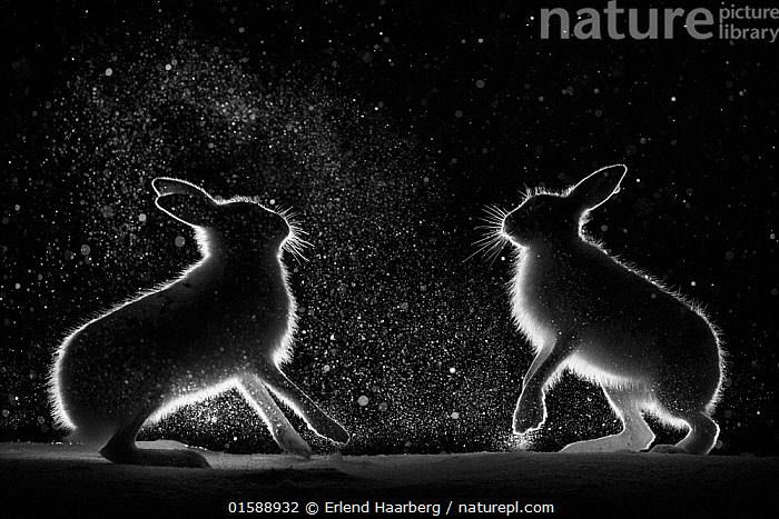 Mountain hares (Lepus timidus) backlit, fighting at night, Norway. April., Animal,Wildlife,Vertebrate,Mammal,Lagomorph,Leporid,Hare,Mountain Hare,Animalia,Animal,Wildlife,Vertebrate,Mammalia,Mammal,Lagomorpha,Lagomorph,Leporidae,Leporid,Lepus,Hare,Lepus timidus,Mountain Hare,Courting,Back Lit,Snow,Boxing,Spar,Sparring,Spars,Animal Behaviour,Mating Behaviour,Courtship,Aggression,Fighting,Dramatic,,, catalogue11, Erlend Haarberg
