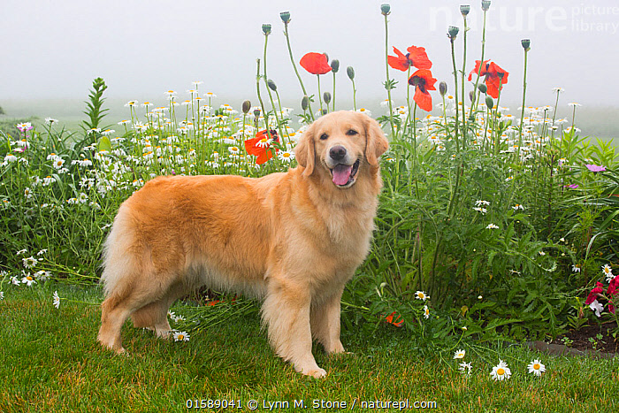 Nature Picture Library - Golden Retriever with flowers