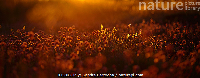 Vanilla grass (Hierochloe odorata)  and Wild chives (Allium schoenoprasum) at sunset, Oland, Sweden, June.  ,  Plant,Vascular plant,Flowering plant,Monocot,Chives,Plantae,Plant,Tracheophyta,Vascular plant,Magnoliopsida,Flowering plant,Angiosperm,Seed plant,Spermatophyte,Spermatophytina,Angiospermae,Asparagales,Monocot,Monocotyledon,Lilianae,Amaryllidaceae,Allium,Onion,Europe,Northern Europe,North Europe,Nordic Countries,Scandinavia,Sweden,Sunset,Setting Sun,Sunsets,Summer,Arty shots,Dusk,Allium schoenoprasum,Chives,Allium materculae,  ,  Sandra Bartocha