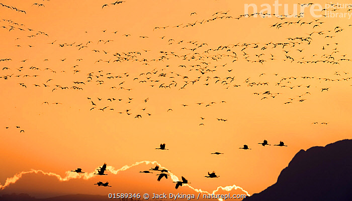 Sandhill cranes (Grus canadensis) flying in to land at sunset  in golden light, Bosque del Apache National Wildlife Refuge, New Mexico, USA, December.  ,  Animal,Wildlife,Vertebrate,Bird,Birds,Crane,Sandhill crane,American,Animalia,Animal,Wildlife,Vertebrate,Aves,Bird,Birds,Gruiformes,Gruidae,Crane,Grus,Grus canadensis,Sandhill crane,Little brown crane,Canadian crane,Flying,Landing,Group Of Animals,Flock,Group,Large Group,North America,USA,Western USA,Southwest USA,New Mexico,Sunset,Setting Sun,Sunsets,Beautiful,Dusk,Bosque del Apache,American,United States of America,,, catalogue11  ,  Jack Dykinga