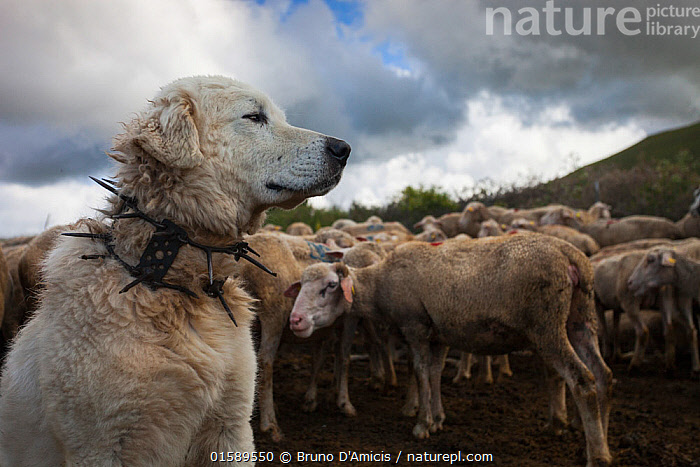 Maremma Sheepdog wearing traditional anti-wolf spiked collar, locally known as 'vreccale'. Gran Sasso National Park, Abruzzo, Italy, June., Canis familiaris,Working,Danger,Group Of Animals,Herd,Group,Spike,Spiked,Spikes,Spikey,Spiky,Europe,Southern Europe,Italy,Abruzzo,Animal,Pet Collar,Tag,Dog Collar,Dog Collars,Sunlight,Livestock,Reserve,Domestic animal,Pet,Domestic Dog,Working Dog,Pastoral Dog,Large dog,Maremma Sheepdog,Domestic Sheep,Domesticated,Canis familiaris,Ovis aries,Protected area,National Park,Dog,Gran Sasso,Natural Light,Working Animal,Sheep,Gran Sasso National Park,Gran Sasso e Monti della Laga National Park,Mammal,,, catalogue11, Bruno D'Amicis