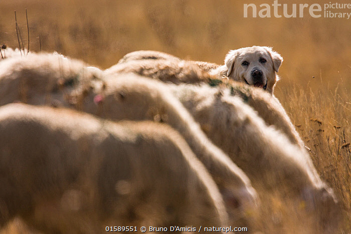 Maremma Sheepdog with sheep, Gran Sasso National Park, Abruzzo, Italy, June., Canis familiaris,Working,Group Of Animals,Herd,Group,Europe,Southern Europe,Italy,Abruzzo,Animal,Sunlight,Livestock,Reserve,Domestic animal,Pet,Domestic Dog,Working Dog,Pastoral Dog,Large dog,Maremma Sheepdog,Domestic Sheep,Domesticated,Canis familiaris,Ovis aries,Protected area,National Park,Dog,Gran Sasso,Natural Light,Working Animal,Sheep,Gran Sasso National Park,Gran Sasso e Monti della Laga National Park,Mammal,,, catalogue11, Bruno D'Amicis