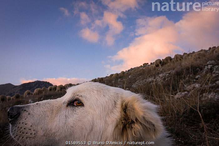 Maremma Sheepdog, close up with herd in the backgruond, Gran Sasso National Park, Abruzzo, Italy, June., Canis familiaris,Working,Europe,Southern Europe,Italy,Abruzzo,Animal,Livestock,Reserve,Domestic animal,Pet,Domestic Dog,Working Dog,Pastoral Dog,Large dog,Maremma Sheepdog,Domestic Sheep,Domesticated,Canis familiaris,Ovis aries,Protected area,National Park,Dog,Gran Sasso,Working Animal,Sheep,Gran Sasso National Park,Gran Sasso e Monti della Laga National Park,Mammal,,, catalogue11, Bruno D'Amicis