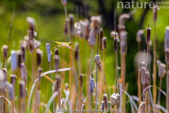 Yellow warbler (Dendroica petechia) collecting nesting material from Bulrush cattail (Typha sp) Bozeman, Montana , USA., Animal,Wildlife,Vertebrate,Bird,Birds,Songbird,New world warbler,Yellow warbler,American,Animalia,Animal,Wildlife,Vertebrate,Aves,Bird,Birds,Passeriformes,Songbird,Passerine,Parulidae,New world warbler,Wood warbler,Warbler,Setophaga,Dendroica,Setophaga petechia,Yellow warbler,American yellow warbler,Golden warbler,Mangrove warbler,Dendroica petechia,Motacilla petechia,North America,USA,Western USA,Montana,Female animal,Animal Home,Nest,Nesting,Animal Behaviour,Nesting behaviour,Nest building,American,Gathering nesting material,United States of America,, Phil Savoie