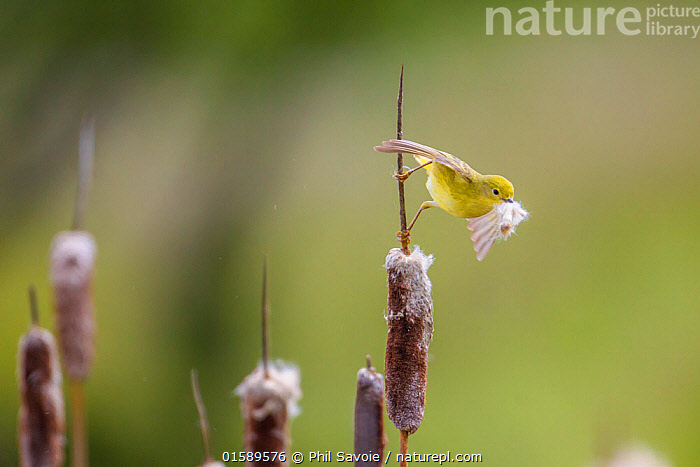 Yellow warbler (Dendroica petechia) collecting nesting material from Bulrush cattail (Typha sp) Bozeman, Montana, USA, June., Animal,Wildlife,Vertebrate,Bird,Birds,Songbird,New world warbler,Yellow warbler,American,Animalia,Animal,Wildlife,Vertebrate,Aves,Bird,Birds,Passeriformes,Songbird,Passerine,Parulidae,New world warbler,Wood warbler,Warbler,Setophaga,Dendroica,Setophaga petechia,Yellow warbler,American yellow warbler,Golden warbler,Mangrove warbler,Dendroica petechia,Motacilla petechia,North America,USA,Western USA,Montana,Animal Behaviour,Nesting behaviour,Nest building,American,Gathering nesting material,United States of America,, Phil Savoie
