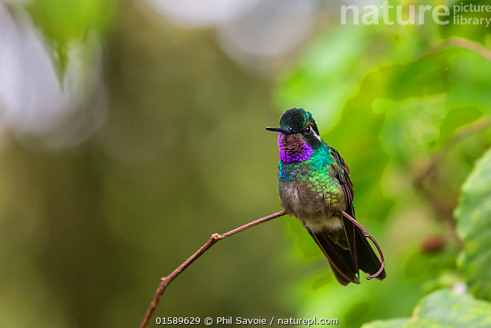 Purple-throated mountain gem (Lampornis calolaemus),  Volcano Pos, Costa Rica.  ,  Animal,Wildlife,Vertebrate,Bird,Birds,Hummingbird,Mountain gem hummingbird,Purple throated mountain gem,Animalia,Animal,Wildlife,Vertebrate,Aves,Bird,Birds,Apodiformes,Trochilidae,Hummingbird,Lampornis,Mountain gem hummingbird,Lampornis calolaema,Purple throated mountain gem,Purple throated mountaingem,Lampornis calolaemus,Latin America,Central America,Costa Rica,Biodiversity hotspot,  ,  Phil Savoie