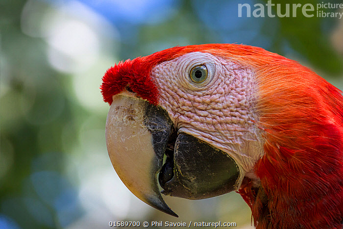 Scarlet macaw (Ara macao) head portrait,  La Selva, Costa Rica.  ,  Animal,Wildlife,Vertebrate,Bird,Birds,Parrot,True parrot,Macaw,Scarlet macaw,Animalia,Animal,Wildlife,Vertebrate,Aves,Bird,Birds,Psittaciformes,Parrot,Psittacines,Psittacidae,True parrot,Psittacoidea,Ara,Macaw,Neotropical parrots,Arini,Arinae,Ara macao,Scarlet macaw,Colour,Red,Latin America,Central America,Costa Rica,Profile,Close Up,Side View,Portrait,Beak,Rainforest,Tropical rainforest,Forest,Biodiversity hotspot,  ,  Phil Savoie