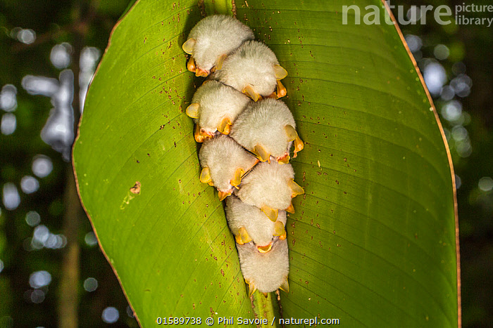 Nature Picture Library White tent making bat (Ectophylla