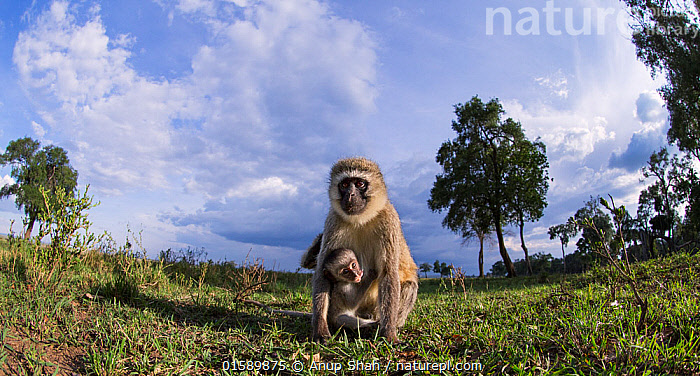 Vervet monkey (Cercopithecus aethiops) female and baby watching with curiosity, remote camera perspective, Maasai Mara National Reserve, Kenya., Animal,Wildlife,Vertebrate,Mammal,Monkey,Grivet Monkey,Animalia,Animal,Wildlife,Vertebrate,Mammalia,Mammal,Primate,Primates,Cercopithecidae,Monkey,Old World Monkeys,Chlorocebus,Chlorocebus aethiops,Green Monkey,Grivet Monkey,Malbrouk Monkey,Tantalus,Vervet Monkey,Africa,East Africa,Kenya,Low Angle View,Wide Angle,Young Animal,Baby,Family,Mother baby,Mother,Parent baby,Cercopithecus aethiops,, Anup Shah
