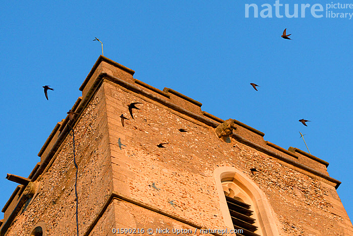 Screaming party of Common swifts (Apus apus) flying around a church bell tower at dusk, where a large colony breeds in nestboxes behind the window louvres, All Saints Church, Worlington, Suffolk, UK, July. Winner of Conservation Documentary Award in Bird Photographer of the Year competition 2020.  ,  Animal,Wildlife,Vertebrate,Bird,Birds,Swift,Common swift,Animalia,Animal,Wildlife,Vertebrate,Aves,Bird,Birds,Apodiformes,Apodidae,Swift,Apus,Apus apus,Common swift,Eurasian swift,European swift,Northern swift,Vocalisation,Calling,Group Of Animals,Animal Colony,Group,Europe,Western Europe,UK,Great Britain,England,Suffolk,Building,Tower,Towers,Church,Churches,Sky,Animal Behaviour,Blue sky,  ,  Nick Upton