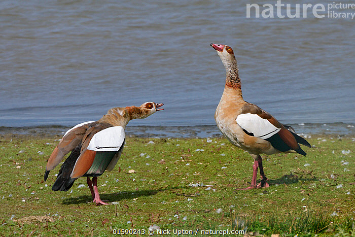 Egyptian goose (Alopochen aegyptiacus) in an aggressive head down challenge to another goose on the margins of Rutland Water reservoir, Rutland, UK, August., Animal,Wildlife,Vertebrate,Bird,Birds,Water fowl,Waterfowl,Tadorninae,Egyptian goose,Animalia,Animal,Wildlife,Vertebrate,Aves,Bird,Birds,Anseriformes,Water fowl,Galloanserans,Waterfowl,Anatidae,Alopochen,Tadorninae,Alopochen aegyptiacus,Egyptian goose,Alopochen aegyptiaca,Europe,Western Europe,UK,Great Britain,England,Rutland,Animal Behaviour,Aggression,Reserve,Protected area,Wildfowl,Goose,Geese, Nick Upton