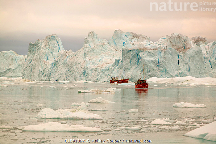 Tourist boat trips sail through Icebergs from the Jacobshavn glacier or Sermeq Kujalleq, Greenland, July 2008.  ,  Greenland,icesheet,ice sheet,inland ice,ice sea,frozen,cold,north,Arctic,glacier,glaciation,weather,climate,global warming,climate change,melt,melting,melt water,meltwater,summer,sea level rise,meteorology,study,science,ancient,remote,challenge,ice surface,surface melting,warming,temperature,rising temperature,affect,liqued,positive feedback,Greenland ice sheet,interior,blue,sky,warm,sun,sunny,heat,energy,thermal,thermodynamics,albedo,reflection,suns energy,surface,Jacobshavn glacier,jacobshavn isbrae,ice fjord,Sermeq Kujatdleq,Sermeq Kujalleq,glacier speed,largest,ice berg,iceberg,Ilulissat,massive,huge,big,large,car,road,travel,transport,contrast,bench,seat,view,viewpoint,vista,tourist,tourism,tourist trip,boat,boat trip,,,,  ,  Ashley Cooper