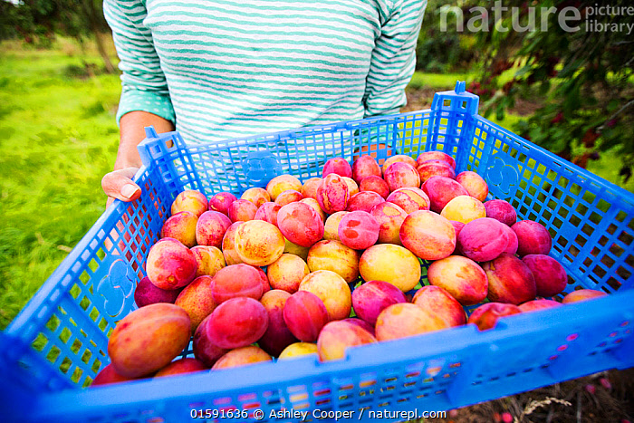A woman picking Plums growing in an orchard near Pershore, Vale of Evesham, Worcestershire, UK.  ,  Pershore,vale of Evesham,food,Worcestershire,UK,orchard,fruit,tree,fruit tree,plum food security,food miles,PYO,colour,colourful,harvest,purple,bloom,ripe,plastic,basket,tray,pick,picking,fruit picking,woman female,plums,,,,  ,  Ashley Cooper
