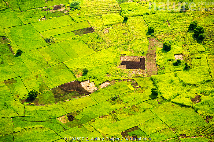 Looking down from the air onto rice paddies and Maize crops in the Shire Valley, Malawi, Africa.  ,  Malawi,Africa,agriculture,green,food crop,crops,rice,rice paddy,aerial,boundary,geen,Shire Valley,path,track,road,woodland,wet,water,pond,swamp,field boundary,pattern,mosaic,Maize,fertile,sustainable agriculture,subsistence farming,,,,,, catalogue11  ,  Ashley Cooper