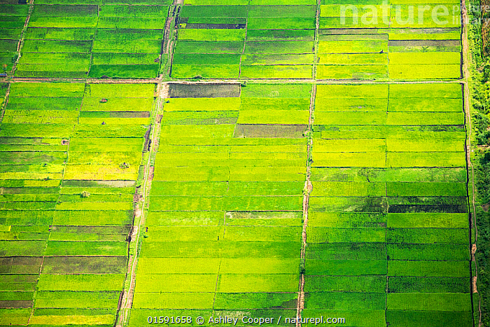 Looking down from the air onto rice paddies in the Shire Valley, Malawi, Africa.  ,  Malawi,Africa,agriculture,green,food crop,crops,rice,rice paddy,aerial,boundary,geen,Shire Valley,path,track,road,woodland,wet,water,pond,swamp,field boundary,pattern,mosaic,fertile,sustainable agriculture,subsistence farming,,,,,, catalogue11  ,  Ashley Cooper